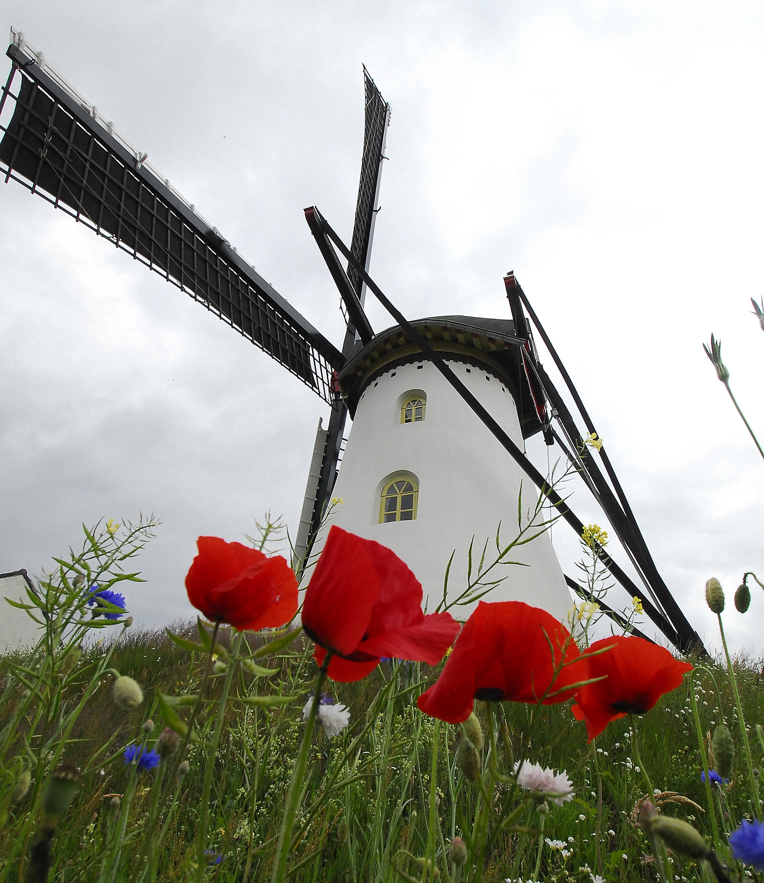 """De """"Poppies"""" kleuren de molenberg."""