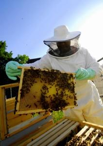 De imker controleert de bijenkasten bij de Annamolen