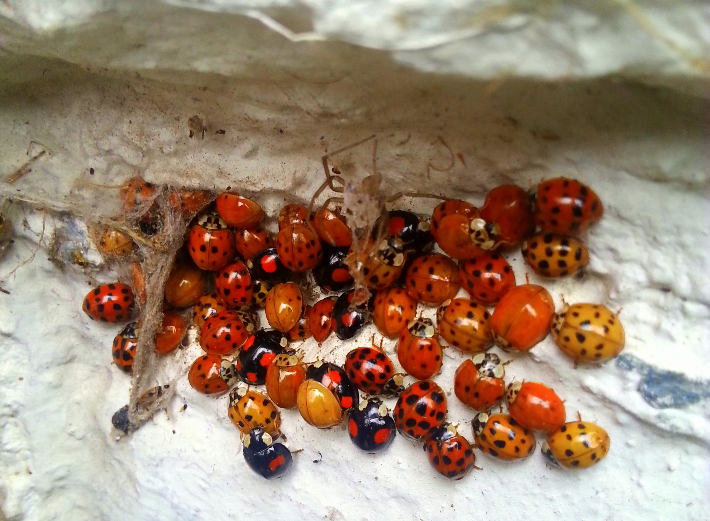 Lieveheersbeestjes op de molens
