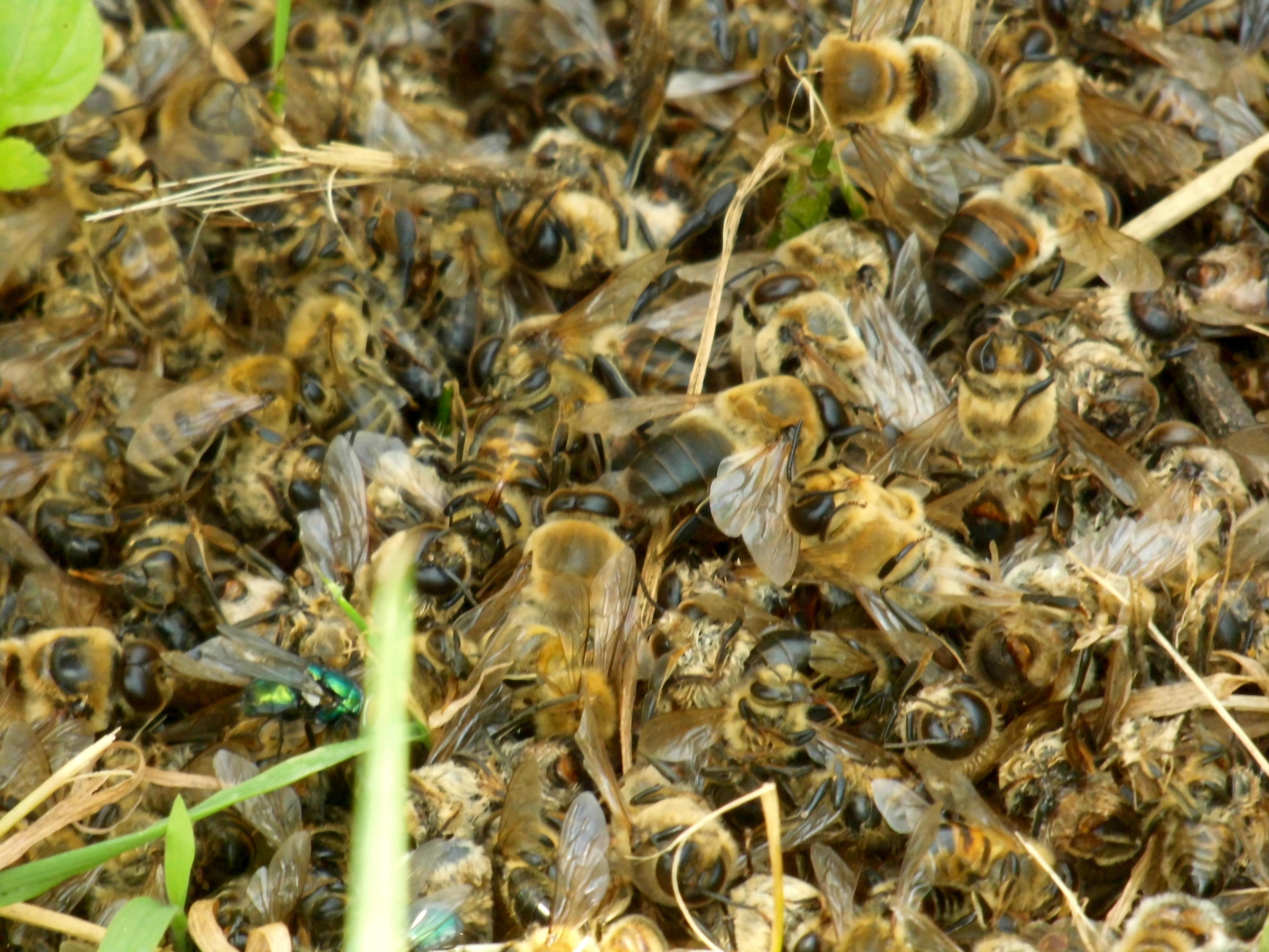 Vele duizenden vergiftigde bijen bij de Nijsmolen Stramproy